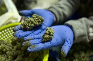 NIH Has Awarded UCLA Marijuana Research Initiative A $3.5 Million Grant